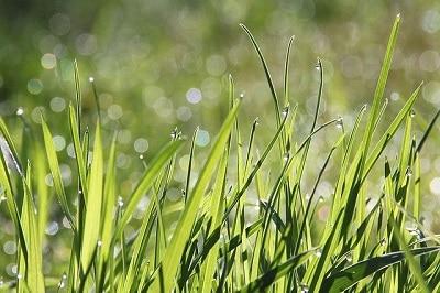 illustration de la rossée du matin sur les brins de pelouse